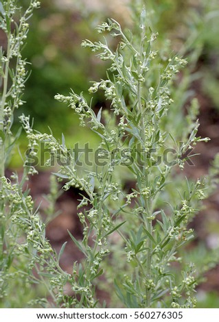 Artemisia absinthium, flowers #560276305