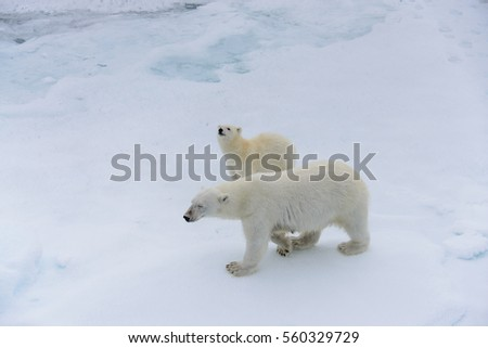 Polar bear (Ursus maritimus) mother and cub on the pack ice, north of Svalbard Arctic Norway #560329729