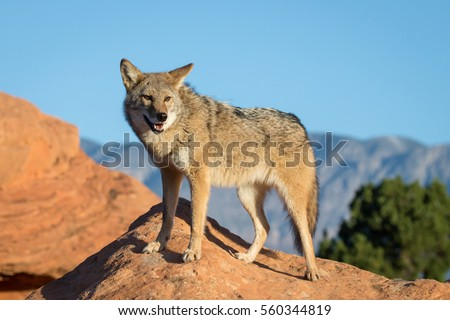 coyote standing on a rock formation at sunrise with desert mountains and blue sky in the background