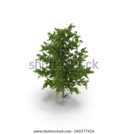 Young Red Oak Tree Summer on white. 3D illustration #560377426