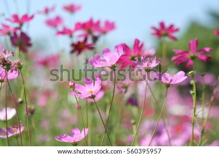 Cosmos flower and sky #560395957