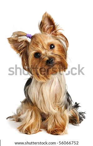Puppy yorkshire terrier  on the white background #56066752