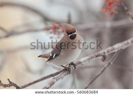 waxwing winter small bird Bombycilla garrulus #560683684