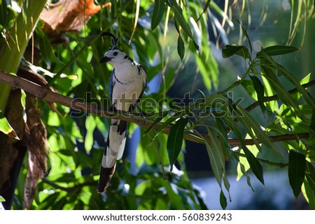 White-throated magpie jay perched on a branch #560839243