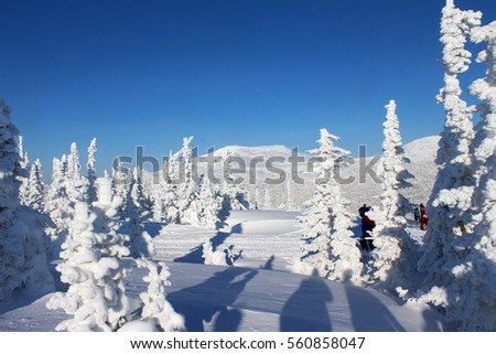 fir trees covered with snow #560858047