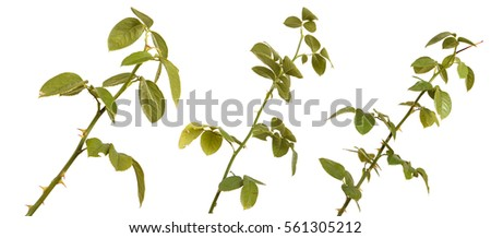 rose bush branch isolated on white background #561305212