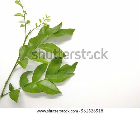 leaf isolated on white background #561326518