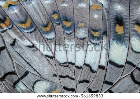 Close up Black Rajah (Charaxes solon sulphureus Jordan, 1900) Butterfly wing, butterfly wing detail texture background  Royalty-Free Stock Photo #561659833