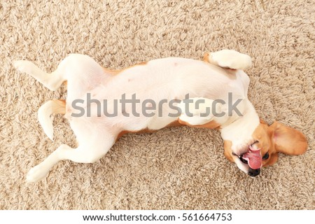 Dog rest on carpet on his back. Beagle lick his nose lying on his back. Dog resting at home. Perfect animal theme. Royalty-Free Stock Photo #561664753