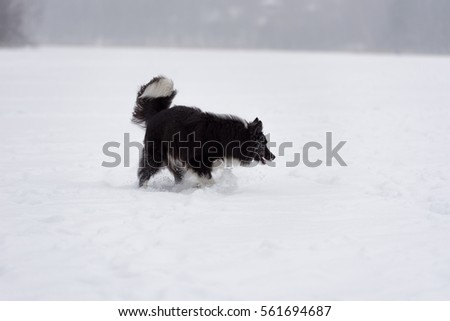 Angry And Curious Curious Border Collie Dog on Frozen and Snowy Lake.  #561694687