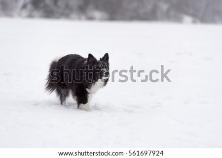 Border Collie Dog Running on Snow. Frozen Lake. #561697924