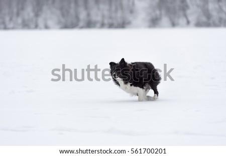 Running Border Collie on Frozen Ice. Snowy Winter In Background. #561700201