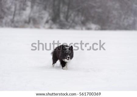 Border Collie Dog Running on Snow. Winter Background. #561700369