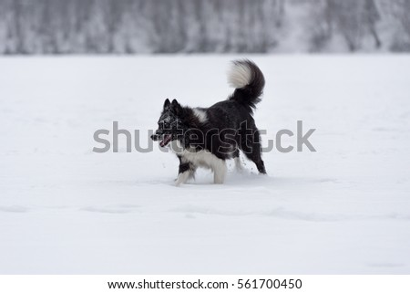Border Collie on Snow.  #561700450
