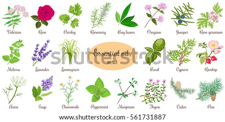 Big vector set of popular essential oil plants. Rose, Geranium, lavender, mint, melissa, Chamomile, cedar, pine, juniper, rosehip etc. For cosmetics, store, spa, health care, aromatherapy, homeopathy. #561731887
