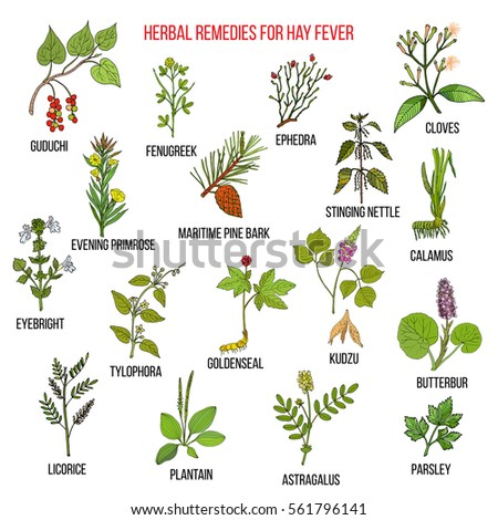 Best herbal remedies for hay fever. Hand drawn vector set of medicinal plants #561796141
