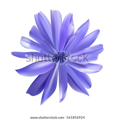 Chicory purple flower vector illustration. Blue daisy. Mesh. Isolated. #561856924