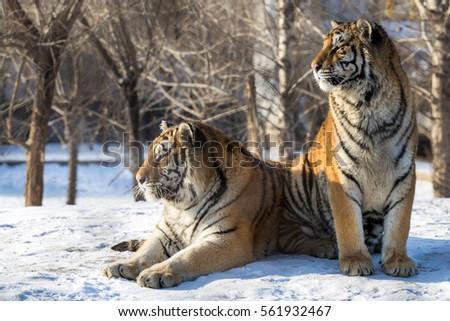 Siberian Tiger (Panthera tigris altaica) Royalty-Free Stock Photo #561932467