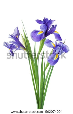 Three iris flowers isolated on white background, beautiful spring plant.