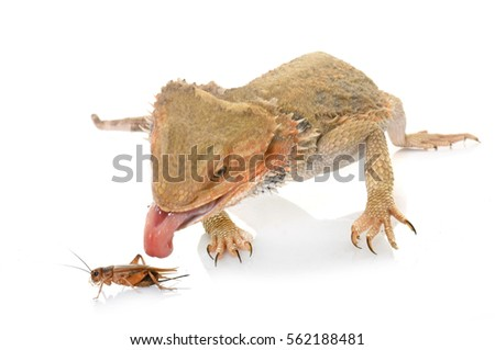 bearded dragons eating cricket in front of white background #562188481