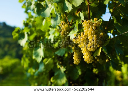 wine grapes on vine stock at wineyard #562202644