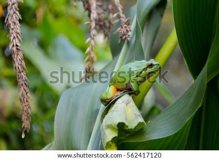 Green frog #562417120