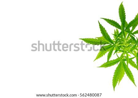 marijuana white background isolate