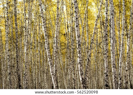 yellow birch forest, late autumn #562520098