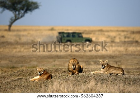Lion and lionesses  in the savannah with land rover and acacia tree on slightly blurred  background  Royalty-Free Stock Photo #562604287