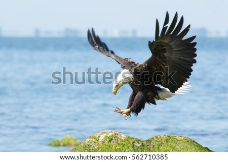 Bald eagle landing. #562710385