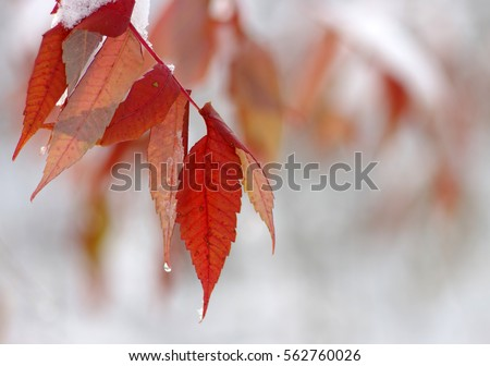 Yellow leaves in snow. Late fall and early winter. Blurred nature background with shallow dof. #562760026