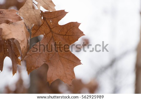Dried oak leaves during the winter months  #562925989