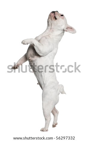 French Bulldog standing on hind legs in front of white background #56297332