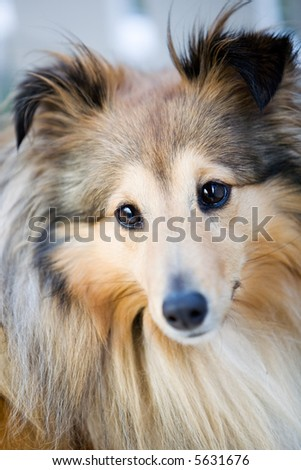 Close up of cute little sheltie dog #5631676
