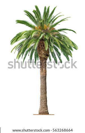 Green beautiful palm tree isolated on white background  Royalty-Free Stock Photo #563268664
