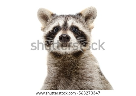 Portrait of a funny raccoon, closeup, isolated on white background #563270347