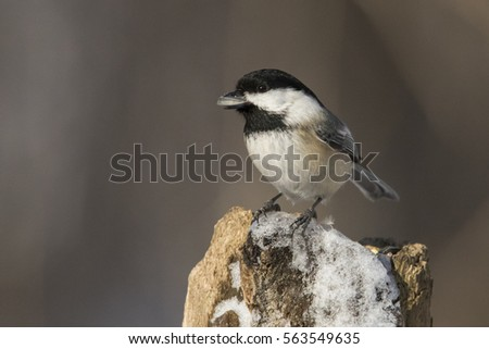 Black-capped Chickadee in winter #563549635