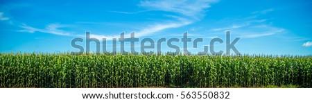 corn plantation Royalty-Free Stock Photo #563550832