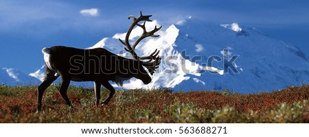 Bull caribou walking in front of Mt McKinley, (Rangifer tarandus), Alaska, Denali National Park Royalty-Free Stock Photo #563688271