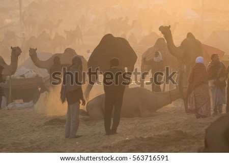 Pushkar, India 22 November 2015: Pushkar Camel Fair in morning with backlight and silhouette of camels and people. Shallow depth of field #563716591