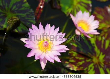 Save Download Preview Water lily flower in the pond in the morning #563804635