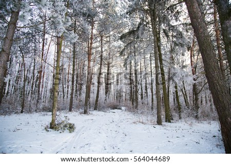 Snowy forest covered with frost on a sunny day. Winter forest near the frozen pond. #564044689