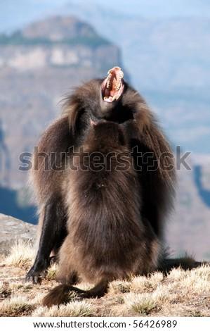 Gelada Baboon #56426989