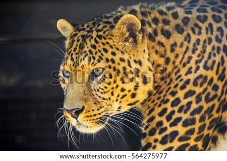 leopard portrait. closeup picture of a leopard.