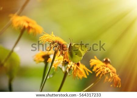 Sunlight butterfly #564317233
