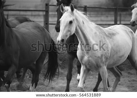 Monochrome image of horses on the nature. Black and white background photo #564531889