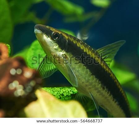 Siamese Algae Eater in Freshwater Aquarium #564668737