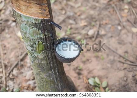 rubber tree #564808351