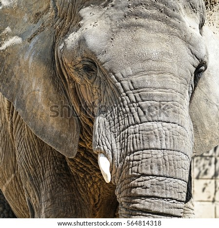 Portrait of an African elephant #564814318