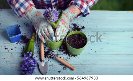 Gardeners hand planting flowers in pot with dirt or soil. #564967930